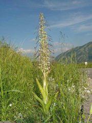 Himantoglossum hircinum ( L.) Spreng.