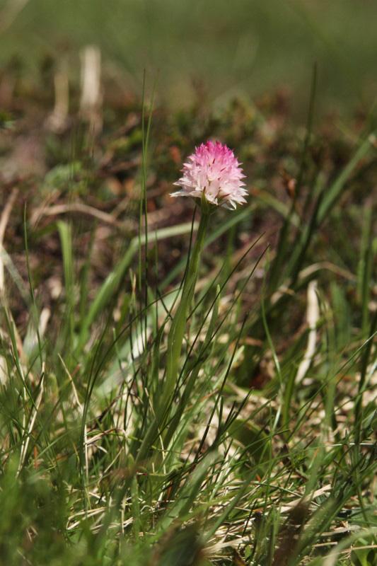 Nigritella rubra subsp. widderi (Teppner & E. Klein) H. Baumann & R. Lorenz