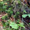 Listera cordata (L.) R.Br. in W.T. Aiton