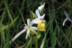 Ophrys holosericea ssp. Dinarica (R. Kranjcev & P. Delfoge) Kreutz
