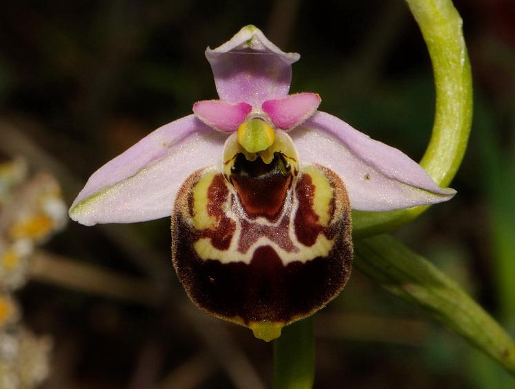 Ophrys holosericea subsp. gracilis (Büel, O. Danesch & E. Danesch) Büel, O. Danesch & E. Danesch