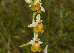 Ophrys holosericea subsp. gracilis (Buel O. Danesch & E.