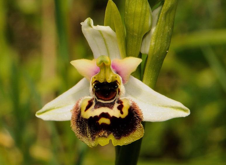 Ophrys holosericea subsp. tetraloniae (W.P. Teschner) Kreutz