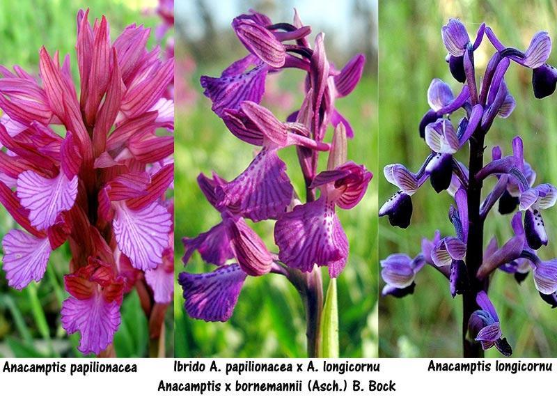 Anacamptis x bornemannii (Ascherson) B. Bock