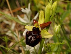 Ophrys passionis subsp. majellensis (H. & H. Daiss) Romolini & Soca