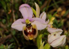 Ophrys tenthredinifera subsp. neglecta (Parl.) E.G.Camus