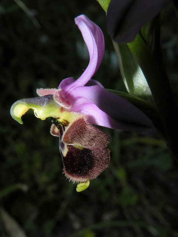 Ophrys x domus-maria M.P. Grasso