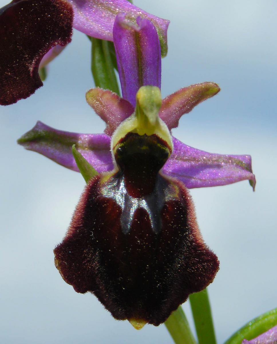 Ophrys x laconensis Scrugli et Grasso M.P. Grasso