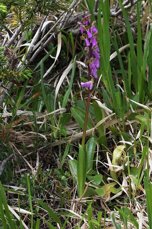Orchis spitzelii Saut. ex Lam. & DC.