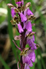 Orchis spitzelii Sauter ex Lam. & DC.