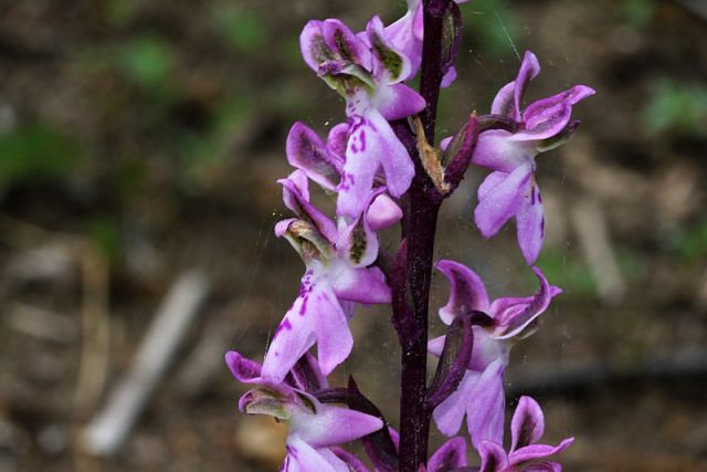 Orchis patens Desf.