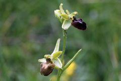 Ophrys minipassionis Romolini & Soca