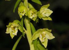 Epipactis greuteri subsp. flaminia (P.R. Sav. & Aless.) H. Baumann, Künk. & R. Lorenz