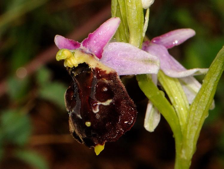 Ophrys argolica subsp. pollinensis (O. Danesch & E. Danesch) Kreutz
