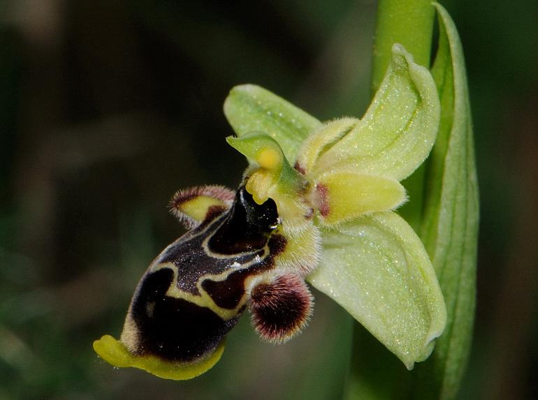 Ophrys scolopax subsp. conradiae (Melki & Desch.) H. Baumann, Giotta, Künk., R. Lorenz & Piccitto