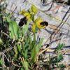 Ophrys mirabilis Geniez & Melki