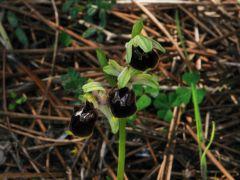 Ophrys argentaria Devillers.Tersch. & Devillers x Ophrys exaltata subsp. monti-leonis (O. Danesch & E. Danesch) Soca