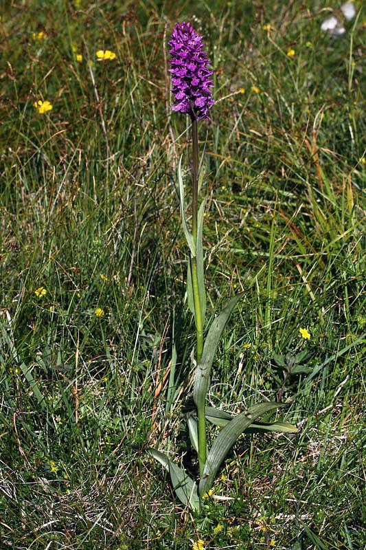 Dactylorhiza x kerneriorum (Soò) Soò