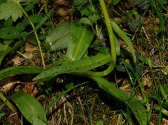Dactylorhiza x influenza (Sennholz) Soò