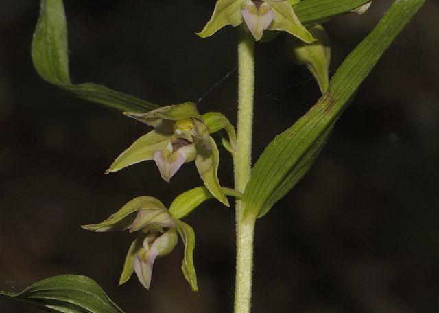 Epipactis helleborine subsp. helleborine (L.) Crantz x Epipactis leptochila subsp. neglecta Kümpel