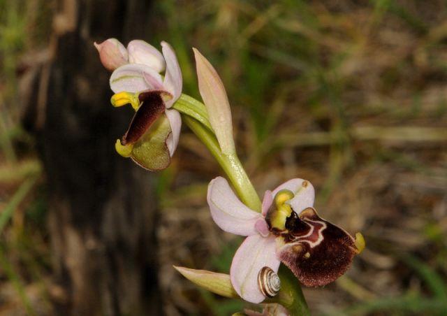 Ophrys holosericea subsp. gracilis (Büel, O. Danesch & E. Danesch) Büel, O. Danesch & E. Danesch x Ophrys tenthredinifera subsp. neglecta (Parl.) E.G. Camus