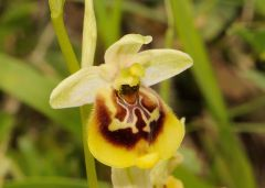 Ophrys holosericea subsp. gracilis (Büel, O. Danesch & E. Danesch) Büel O. Danesch & E. Danesch x ophrys lacaitae Lojac.