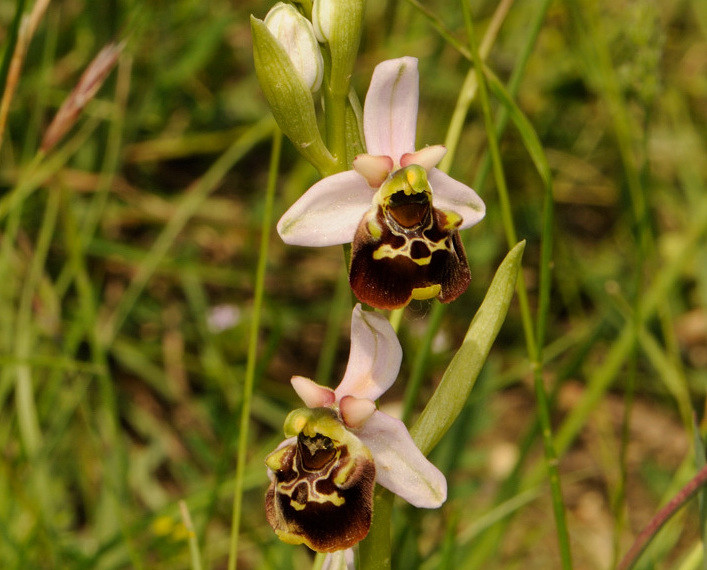 Ophrys pinguis Romolini & Soca (Ophrys holosericea subsp. pinguis)