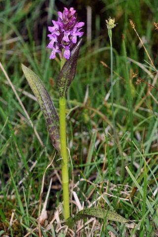Dactylorhiza incarnata (L.) So� subsp. cruenta (O.F. Mull.)