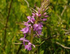 Dactylorhiza maculata (L.) subsp. saccifera(Br.) Dik.