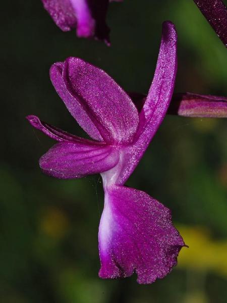 Anacamptis laxiflora (Lam.) R.M. Bateman, Pridgeon & M.W. Chase