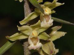 Epipactis purpurata Sm.