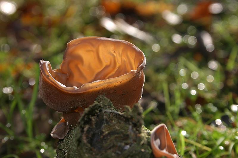 Auricularia_auricula_judae_10.jpg