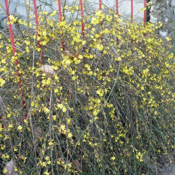 pianta con fiori gialli da determinare. grazie - Foto dei Fiori e delle Piant...