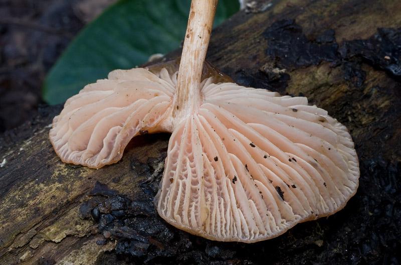 Rhodotus_palmatus_09.jpg