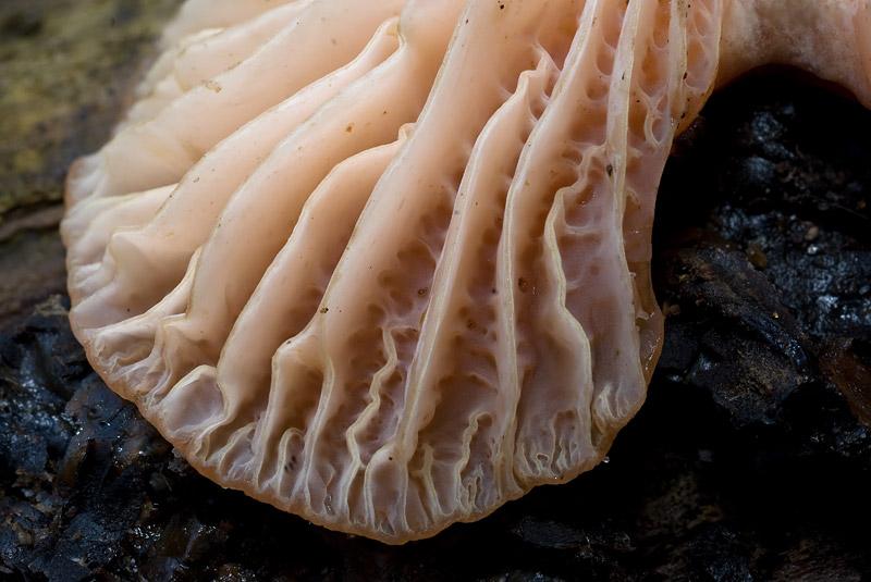 Rhodotus_palmatus_11_2_3.jpg