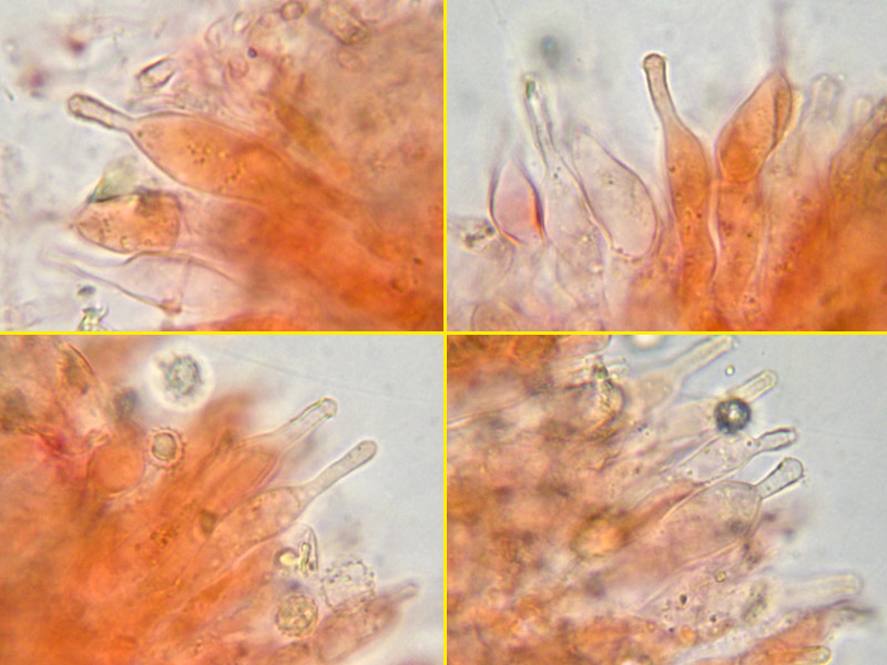 Rhodotus_palmatus_31_3_4_5_3_Cistidi.jpg