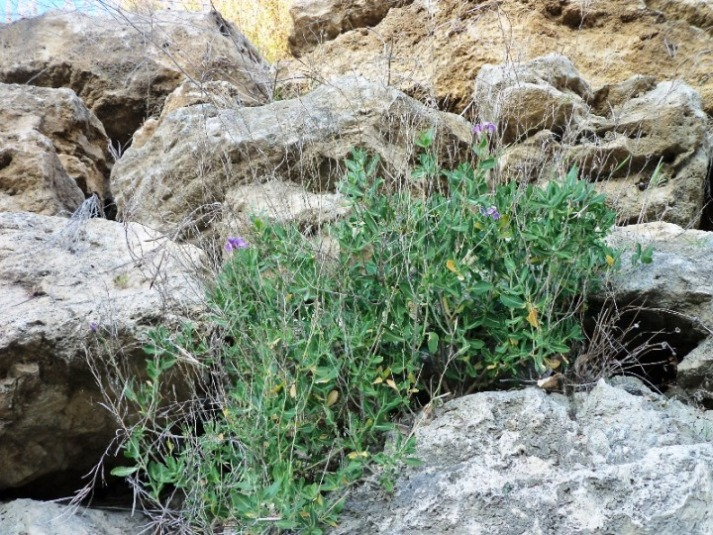Piante Mediterranee Selvatiche : Moricandia arvensis l dc segnalazione fiori e piante