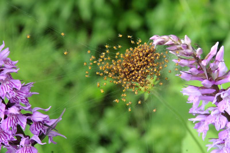 Dactylorhiza-fucksii8.jpg