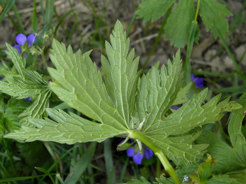 P90-2010-05-24-4625-Geranium sylvaticum.jpg