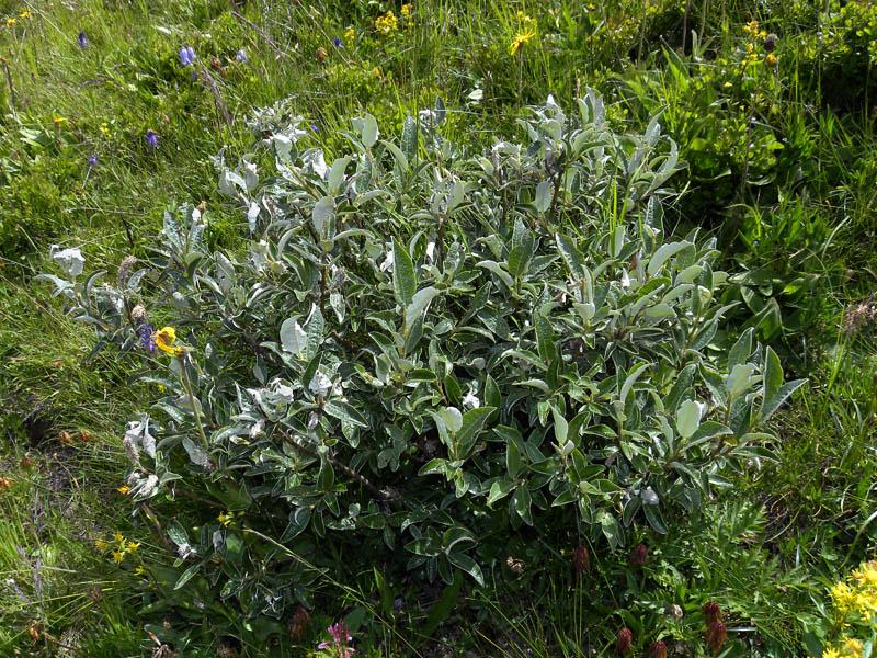 zP90-2011-07-21-4801-Salix-cfr-glaucosericea.jpg