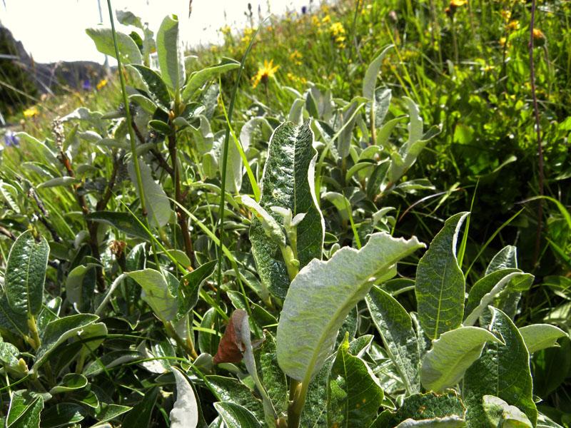 P90-2011-07-21-4813-Salix.cfr.glaucosericea.jpg