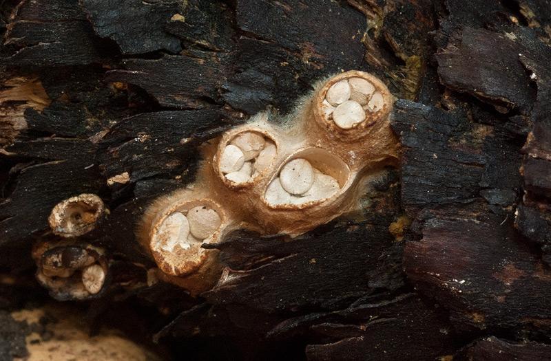 Crucibulum laeve 06.jpg