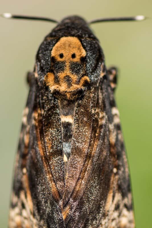 Acherontia atropos - adulto 4.jpg
