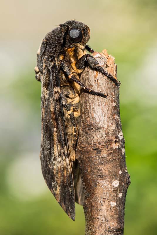 Acherontia atropos - adulto 3.jpg