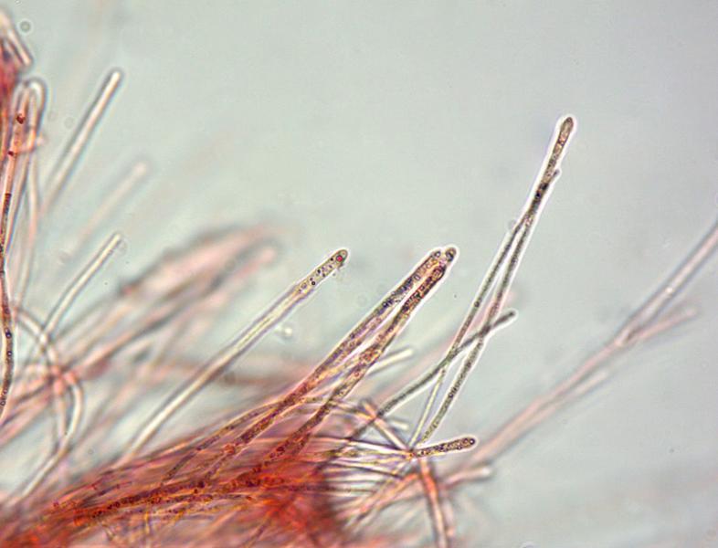 Sarcoscypha-coccinea-11-2-3Parafisi-600x-RC.jpg
