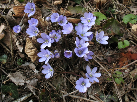 Copia_Hepatica_sp._1.jpg