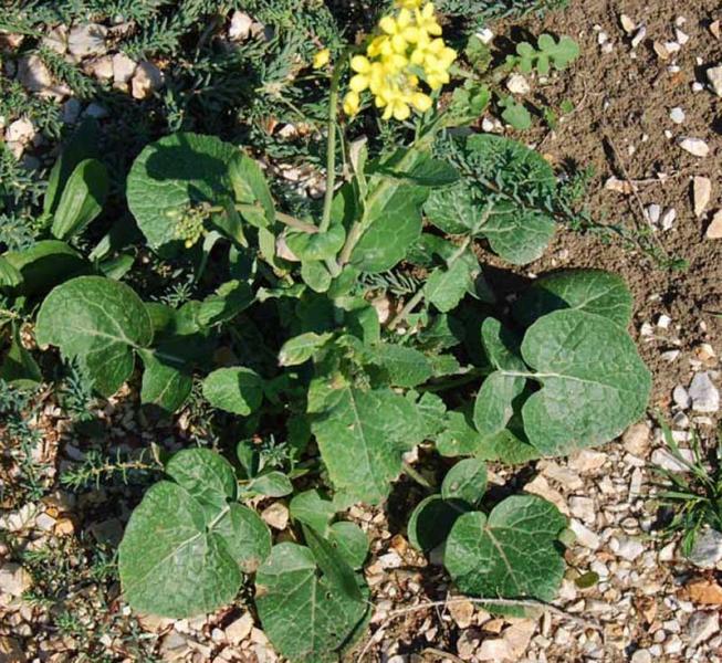 Brassica_rapa_campetris1ph.jpg