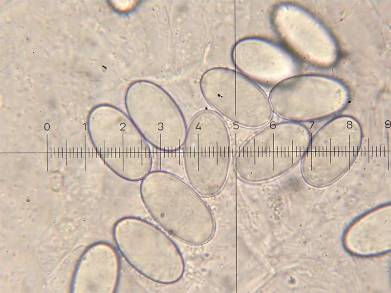 Peziza-vesiculosa-28.jpg