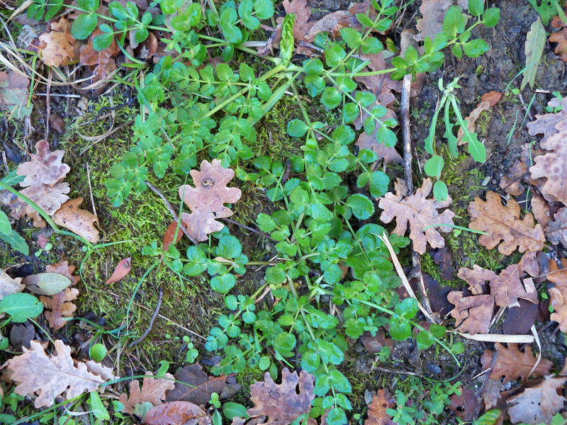 Piante Mediterranee Selvatiche : Kundmannia sicula l dc segnalazione fiori e piante