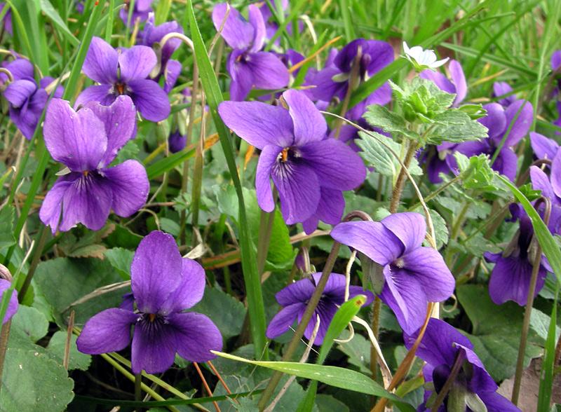 Viola odorata l schede delle erbe piante e fiori for Pianta rampicante con fiori viola a grappolo